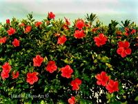 hibiscus-gardens-and-arboretums-bm