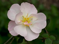 heritage-rose-gardens-and-arboretums-bm